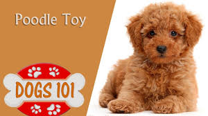 dogs 101 toy poodle top dog facts