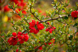 flower flowers quince hd wallpaper