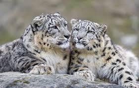 wallpaper cat predator snow leopard