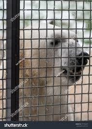 Big White Polar Bear Behind Fence Stock Photo Edit Now 777752497