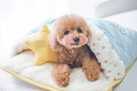 toy poodle miyake singapore