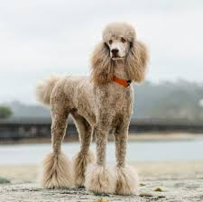 poodle standard puppies