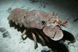 Slipper lobster - Wikipedia