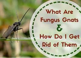 fungus gnats where do these little