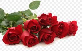rose red flower wallpaper png