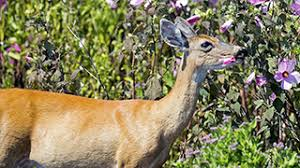 keep deer out of the yard and garden