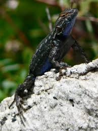 Western Fence Lizard Wikipedia