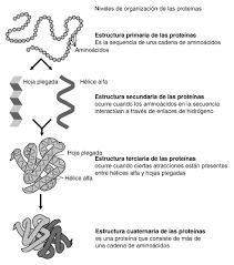 Cual es la estructura de los aminoácidos?