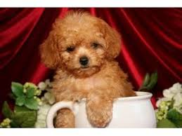teacup toy poodles in michigan