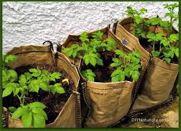 grow potatoes from eye to harvest