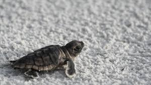 cute sea turtle hd wallpaper free