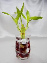 gol2016 3 3 stalks lucky bamboo plant