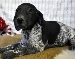 finn german shorthaired pointer puppy