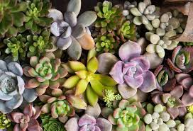 succulents as outdoor annuals