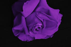 meaning of purple roses lavender