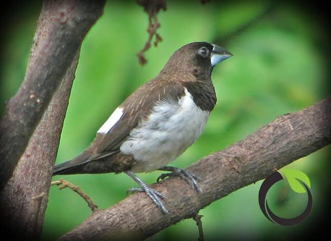 """Hasil gambar untuk Burung hama pohon mangga"""""""