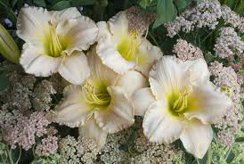 Daylily Pewter Pink | Day lilies, White plants, White gardens