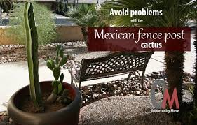 Avoid Problems With The Mexican Fence Post Cactus
