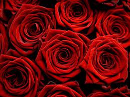 red roses flowers wallpaper 34611317