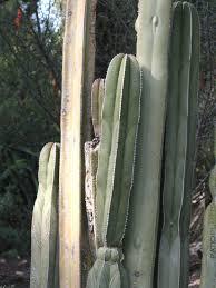 Mexican Fencepost Cactus Lemaireocereus Marginatus 4 Pot Patioplants Com