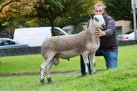 Hundith tops Bluefaced offering at £9000 | The Scottish Farmer
