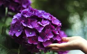hydrangea flower meaning symbolism