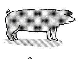 Poland China Pig Breed Cartoon Retro Drawing on Behance