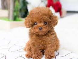 tiny teacup poodle micro