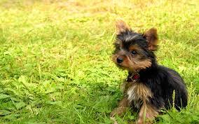 yorkshire terrier puppy 2 wallpaper