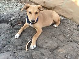 Painted Dog Research Trust Meet Bongo Newest Addition To The Pdrt Pack He Is A Self Rescue Dog Smart Enough To Leave An Abusive Owner Crawl Through Our Fence And Never
