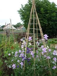 Sweet Peas Google Search Garden Flower Beds Sweet Pea Plant Sweet Pea