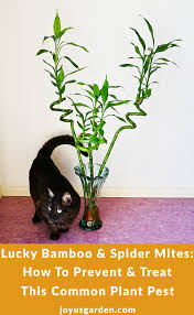 lucky bamboo and spider mites how to