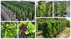 growing hydroponic lettuce