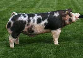 Pig Breed Type Info (UNDER CONSTRUCTION) - TxShowSwine