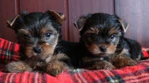 yorkie puppies near memphis لم