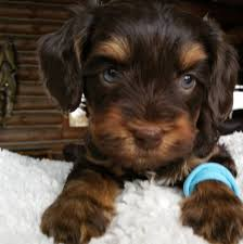 dekalb labradoodle puppies breeder of