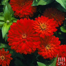 best red flowers for your garden