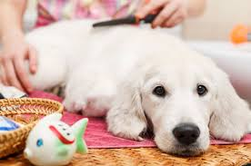 Professional Dog Grooming Box Hill - Pets R Best Dog Groomer