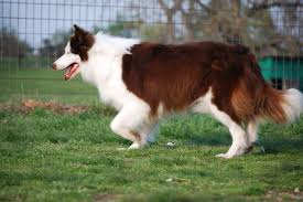 border collie puppies from