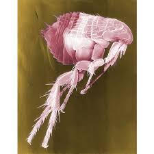 make a homemade flea repellant or spray