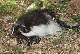 The Skunk Gardener S Best Friend And Master Of Pest Control