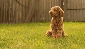 ᐉ best 5 dog food for toy poodles 2020