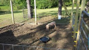 Piggies On The Pasture Training The Pigs To Respect Electric Fence L R Farms Pastured Eggs Livestock