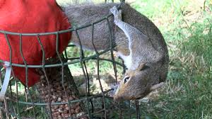 Trapped Squirrel Gets Rather Feisty Wildlife Aid Foundation