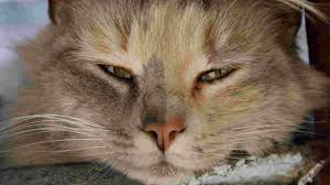 cat runny watery eyes causes and