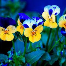 خلفيات ورد أزرق وأصفر عالية الدقة والوضوح خلفية شاشة صور خلفيات