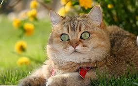wallpaper british shorthair lovely cat