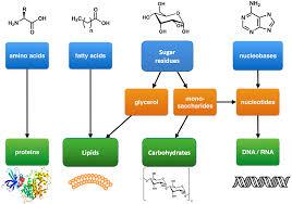 the major macromolecules