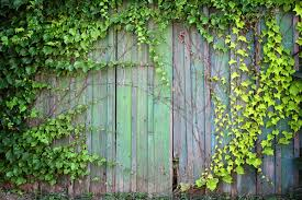 How To Grow Vines On Your Fence