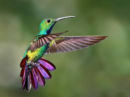 Image result for los colibríes. de los andes